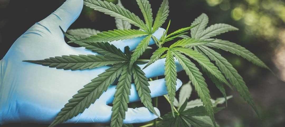 Defensoria Pública obtém habeas corpus para casal cultivar cannabis para uso medicinal